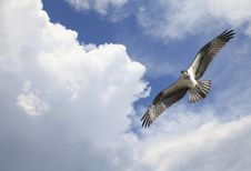 Free Osprey Soaring Among The Clouds Royalty Free Stock Photo - 25903615