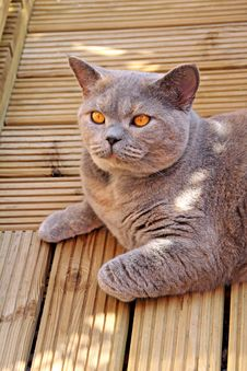 Free Pedigree Cat On Decking Stock Photos - 25906603