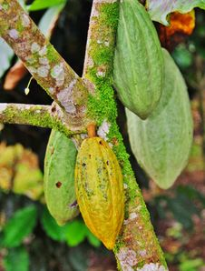 Free Green And Ripe Cocoa On Tree Royalty Free Stock Images - 25908929