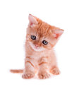 Free Red Kitten Sitting Is Tilted His Head Royalty Free Stock Photo - 25914935