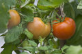 Free Tomatoes On A Branch Stock Photos - 25917603
