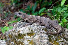 Free Iguana Resting On Rock Royalty Free Stock Image - 25916356