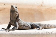 Free Iguana Resting On Rock Stock Image - 25916551