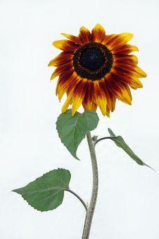 A Nice Big Sunflower Stock Photos