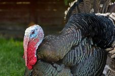 Free Closeup Of A Turkey Royalty Free Stock Image - 25919326
