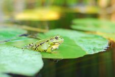 Free Frog Sits On A Green Leaf Royalty Free Stock Photo - 25919985
