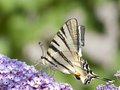 Free Swallowtail Butterfly In  Purple Organ Stock Images - 25924094