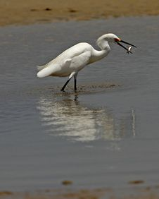 Free Snowy Egret Having Lunch Royalty Free Stock Photography - 25920747