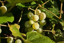 Free Dottie S Grapes Royalty Free Stock Images - 25921569