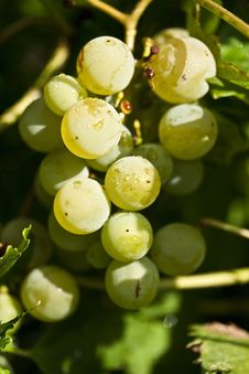 Free Green Grapes Royalty Free Stock Images - 25921589