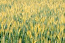 Free Rye Field Stock Photos - 25923683