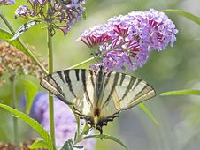Swallowtail Butterfly In Morning Sun Stock Photo
