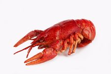 Free Crawfish Royalty Free Stock Photos - 25927048