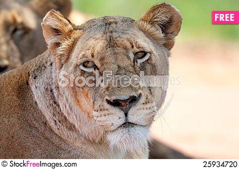 Free Lioness Stock Photo - 25934720