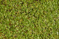 Free Duckweed Royalty Free Stock Photo - 25932145