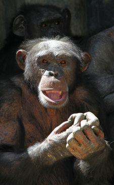 Free Chimpanzee Stock Photo - 25934030