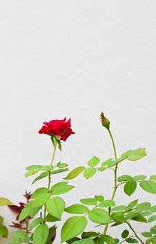 Free Rose On White Background Royalty Free Stock Photo - 25936185