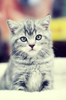 Free Gray Kitten Sitting Royalty Free Stock Photo - 25939815