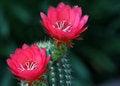 Free Cactus Royalty Free Stock Image - 25941236