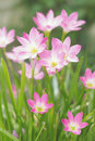 Free Fairy Lily / Rain Lily Stock Photo - 25943240
