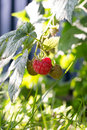Free Raspberries Royalty Free Stock Images - 25948939