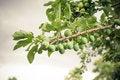 Free Plum Tree Stock Photos - 25948973
