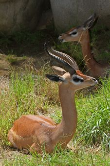Free Gerenuk Royalty Free Stock Photo - 25941355