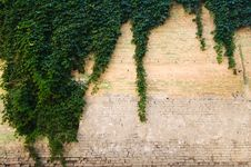Free Stone Wall With Grapevine Stock Image - 25947961