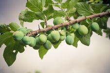 Free Plum Tree Stock Image - 25948981