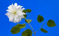 Free Clematis Royalty Free Stock Images - 25949509