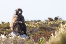 Free Baboon Royalty Free Stock Photo - 25949775