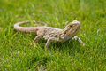 Free Australian Bearded Dragon Stock Images - 25952964
