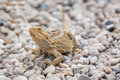 Free Australian Bearded Dragon Stock Image - 25953001