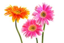 Free Fresh Pink And Yellow Gerbera Stock Photography - 25950502