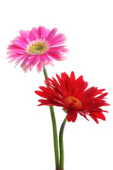 Free Fresh Pink And Red Gerbera Royalty Free Stock Images - 25950509