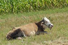 Free Link Cow Royalty Free Stock Image - 25951036