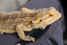 Free Australian Bearded Dragon Stock Image - 25952921
