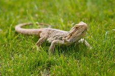 Free Australian Bearded Dragon Stock Images - 25952964