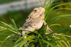 Free Australian Bearded Dragon Stock Photography - 25953092