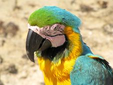 Free Blue And Yellow Macaw, Ara Ararauna Royalty Free Stock Photography - 25953707