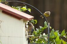 Free Bluebird And Goldfinch On Nest Royalty Free Stock Photography - 25954207