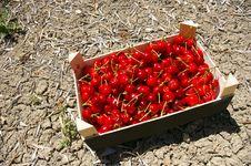 Box Of Freshly Picked Cherries. Stock Photography