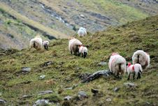 Free The Sheeps Royalty Free Stock Image - 25965746