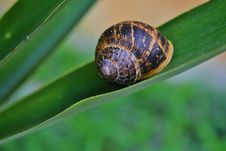 Free Snail On Yuca Leaf Stock Images - 25965864