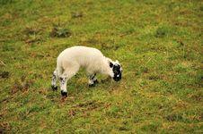 Free Lamb Stock Image - 25966521