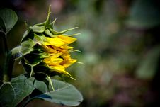 Free Sun Flower Royalty Free Stock Photography - 25967747