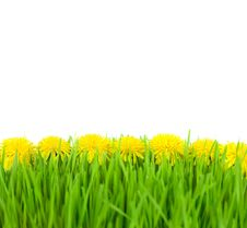 Free Yellow Dandelions In Green Grass On White Back Stock Image - 25973281