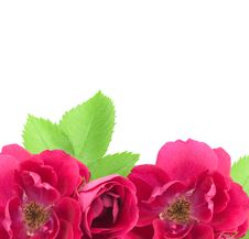 Free Beautiful Rose Flowers Background With Copy Space Stock Image - 25973321