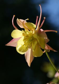 Beautiful Flower Aquilegia Stock Photo
