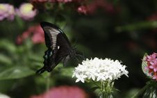 Free Peacock Swallowtail Butterfly Stock Image - 25977811
